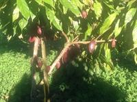 teak cacao farm - 3